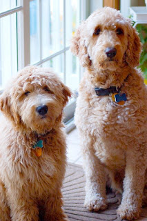 F1 vs F1b Goldendoodle Temperament, Size, Lifespan, Adoption, Price