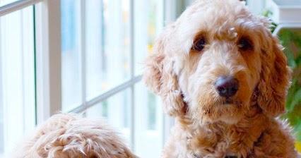 F1 Vs F1b Goldendoodle Temperament Size Lifespan Adoption