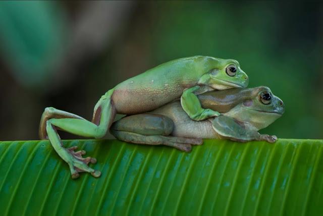 Pembiakan katak