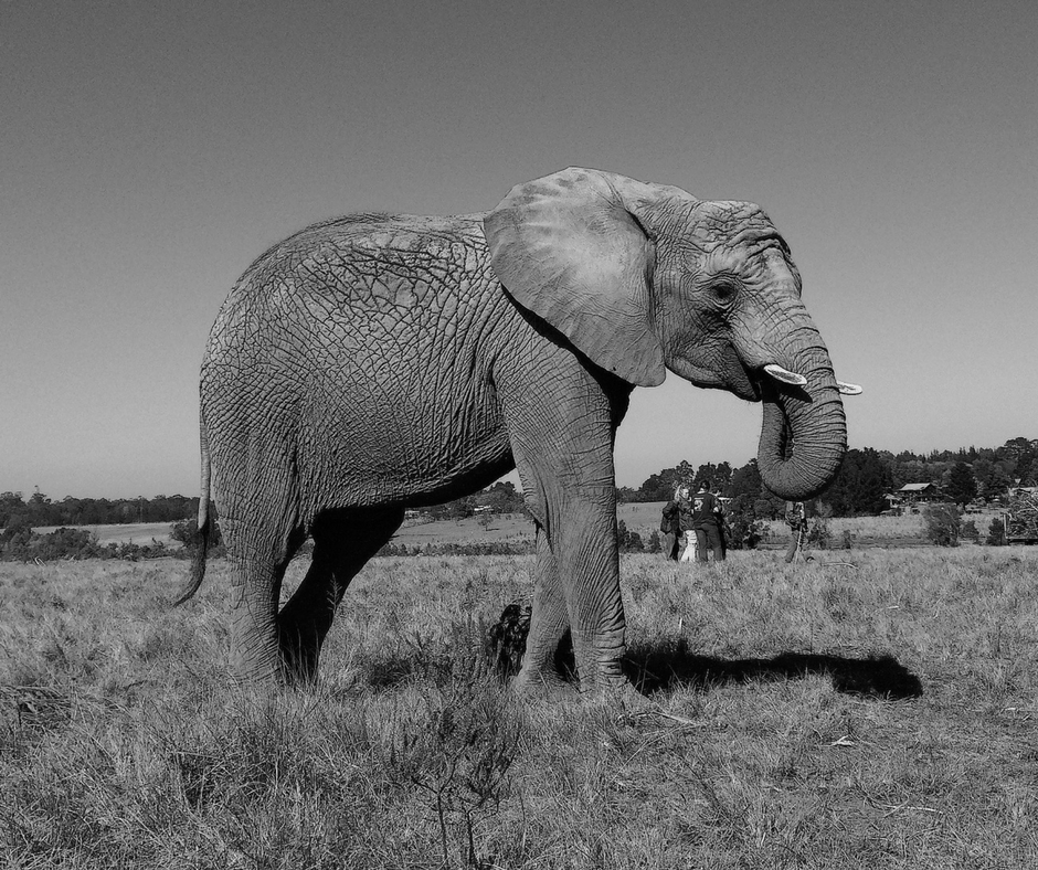 Black and white elephant photo.