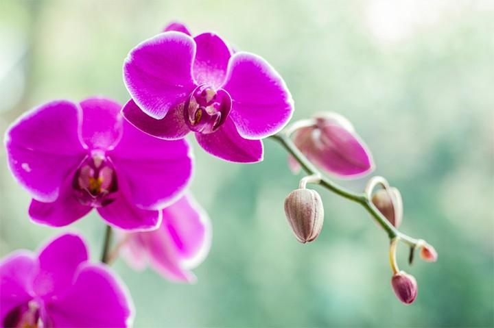 planta de orquídea rosa