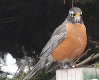 The American robin is the State bird of Connecticut - photo by Denise Motard