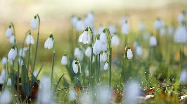 Galanthus y la fiebre de las campanillas al final del invierno (snowdrops)