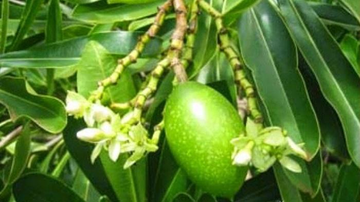 selidiki tanaman beracun, pohon bintaro pengusir tikus, manfaat pohon bintaro, tumbuhan bintaro, pohon bintaro, bintaro cerbera odollam, tanaman cerbera odollam, jual bintaro