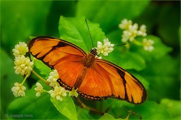 Butterfly by Joseph Inns