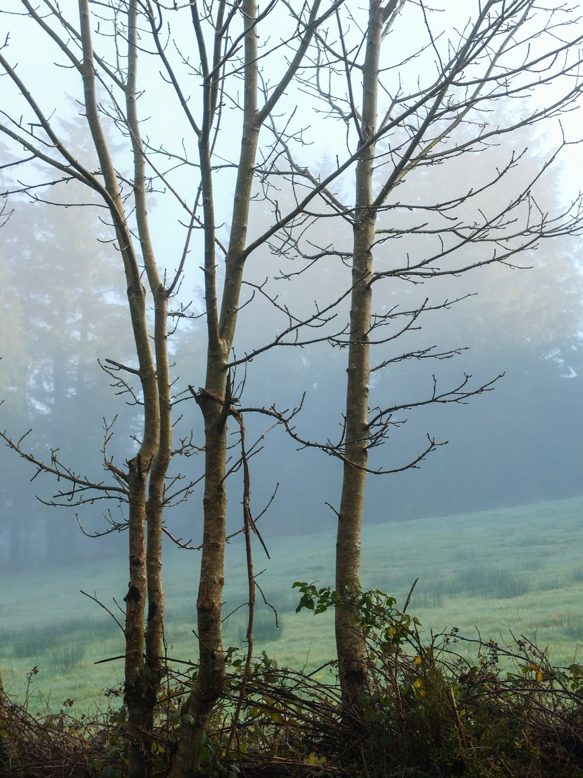 Bare trees on a hill side covered in a thick morning fog.