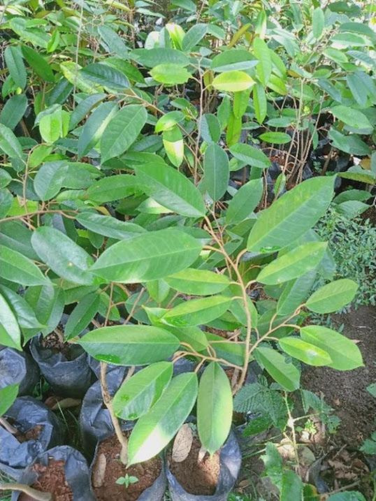 bibit durian bawor OKULASI Padangpanjang