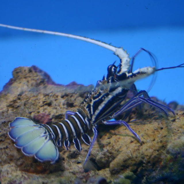 blue spiny lobster