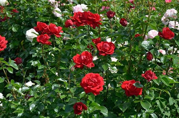 Jugendliebe роза фото