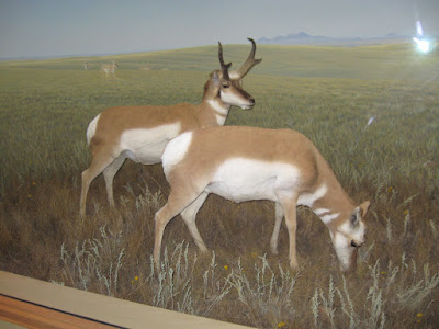 The Antelope dispaly from my last trip to the museum