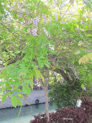 wisteria in China