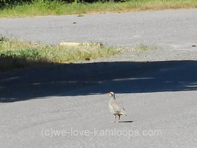 Chukars are a bird that seems to prefer to walk across the road.