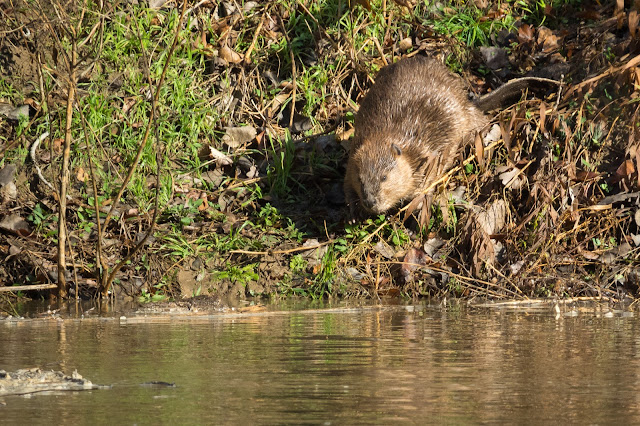 Beaver, River Legacy Parks