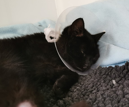 black cat wearing neck cone and laying on blanket