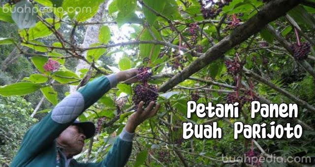 buah parijoto khas gunung muria bantu cepat hamil