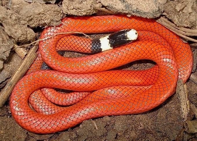 Cobra coral vermelha