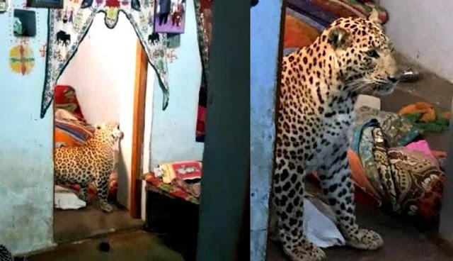 घर के अंदर घूमता रहा तेंदुआ, देख पड़ोसियों के उड़े होश