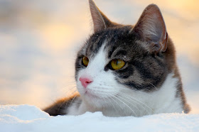 How to make the world better for cats, like this beautiful cat in the snow, and your cat at home