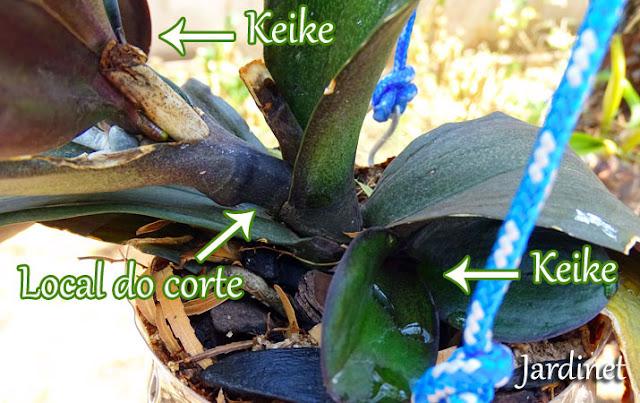 Como cortar o keike da orquídea