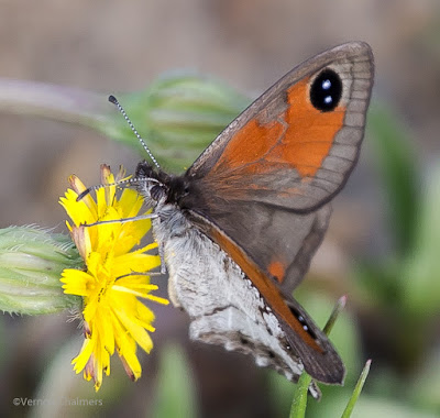 Tiny Butterfly with a Zoom Lens - Woodbridge Island 03