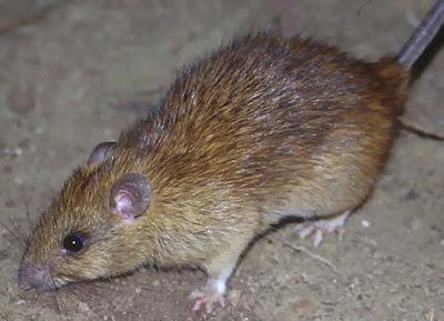 Gambar Binatang Tikus