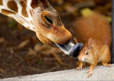 foto tierna de jirafa lamiendo a una ardilla