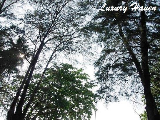 lone pine hotel penang casuarina trees