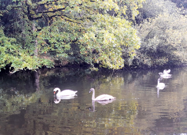 Four swans (one adult, three cygnets) in the canal by overhanging trees