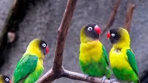 Burung Lovebird, Jenis Burung Berkicau