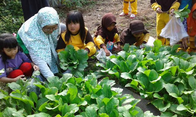 Field Trip: Memanen Tanaman Sayur Sawi