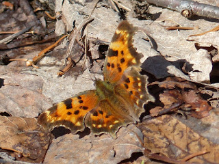 Polygonia c-album - Robert le diable - Gamma