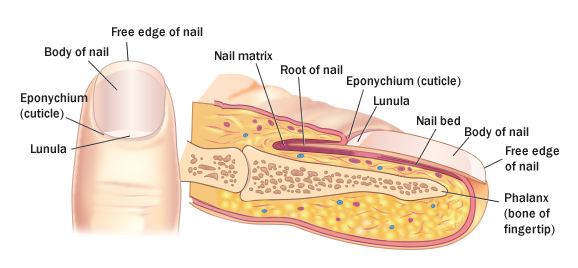 Nail care beauty fashion structures of nail ccuart Images