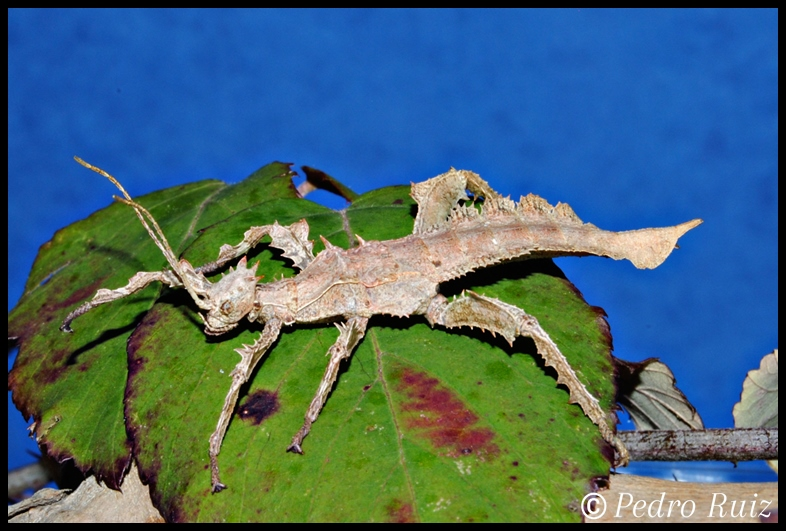Ninfa hembra L3 de Heteropteryx dilatata, 5 cm de longitud
