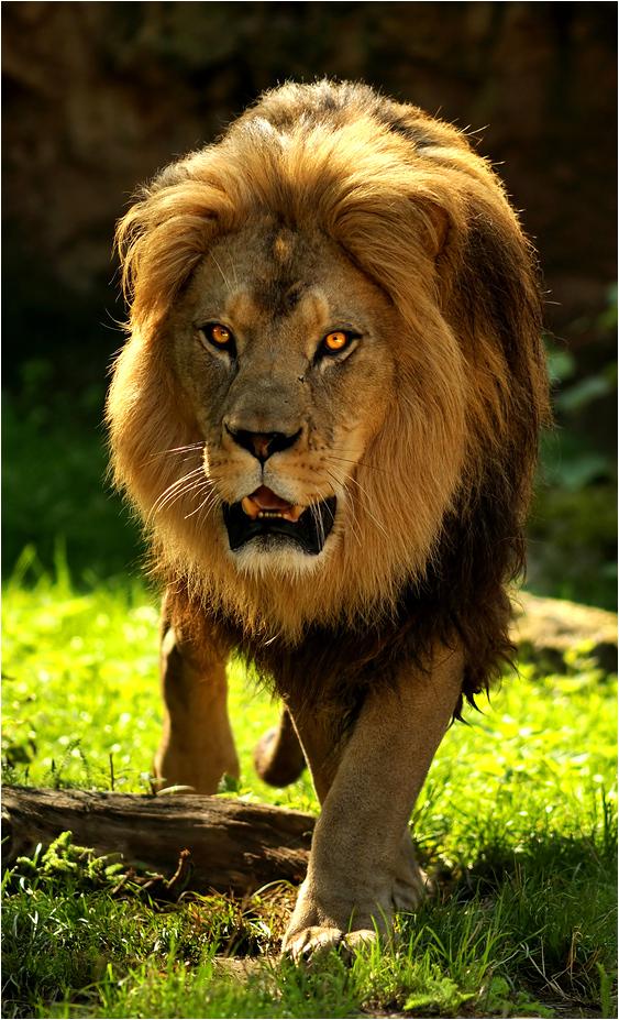 Bob Marley Lion