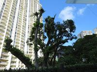 Pruned trees where Common mynahs usedto roost - Waikiki, Oahu, © Denise Motard