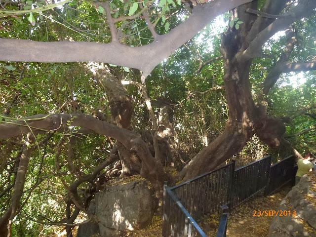 עץ חרוב - פקיעין