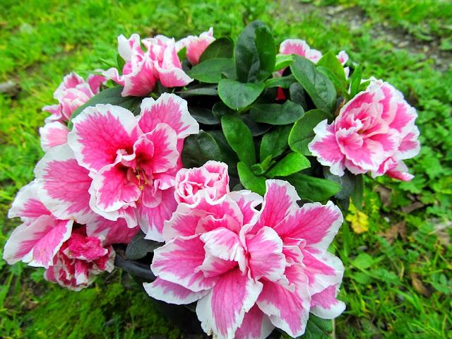 Adan Zye çiçek Isimleri Listesi çiçek Bakımı çiçek çeşitleri