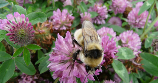 Voting urged to help save Scotland's Great yellow bumblebee