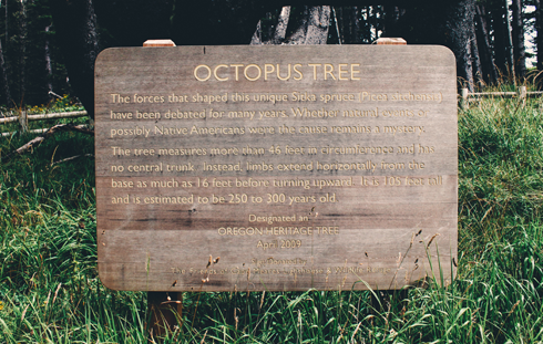 Octopus Tree Cape Meares Oregon