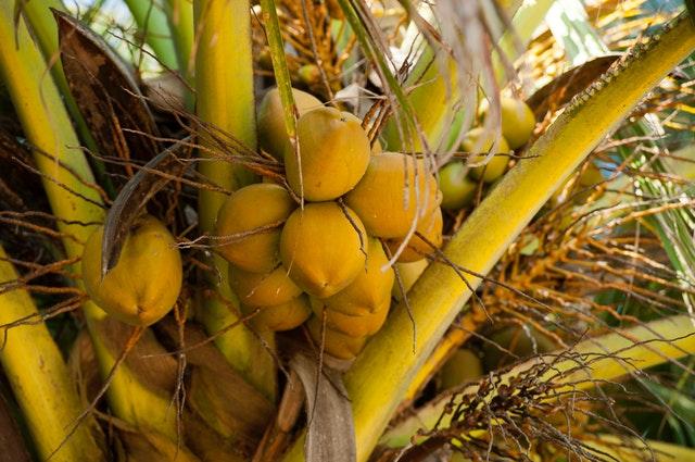 belajar dari kelapa