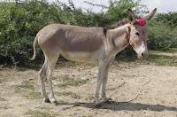 nbagr donkey breed