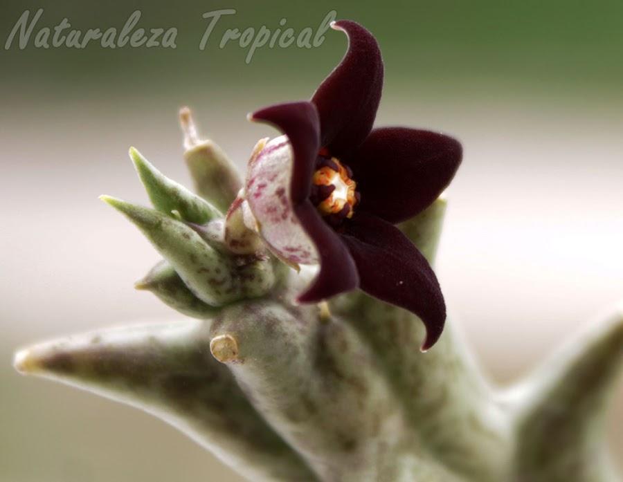 Flor típica de la Estrella Negra (Orbea decaisneana). Pachycymbium decaisneanum o Caralluma hesperidum