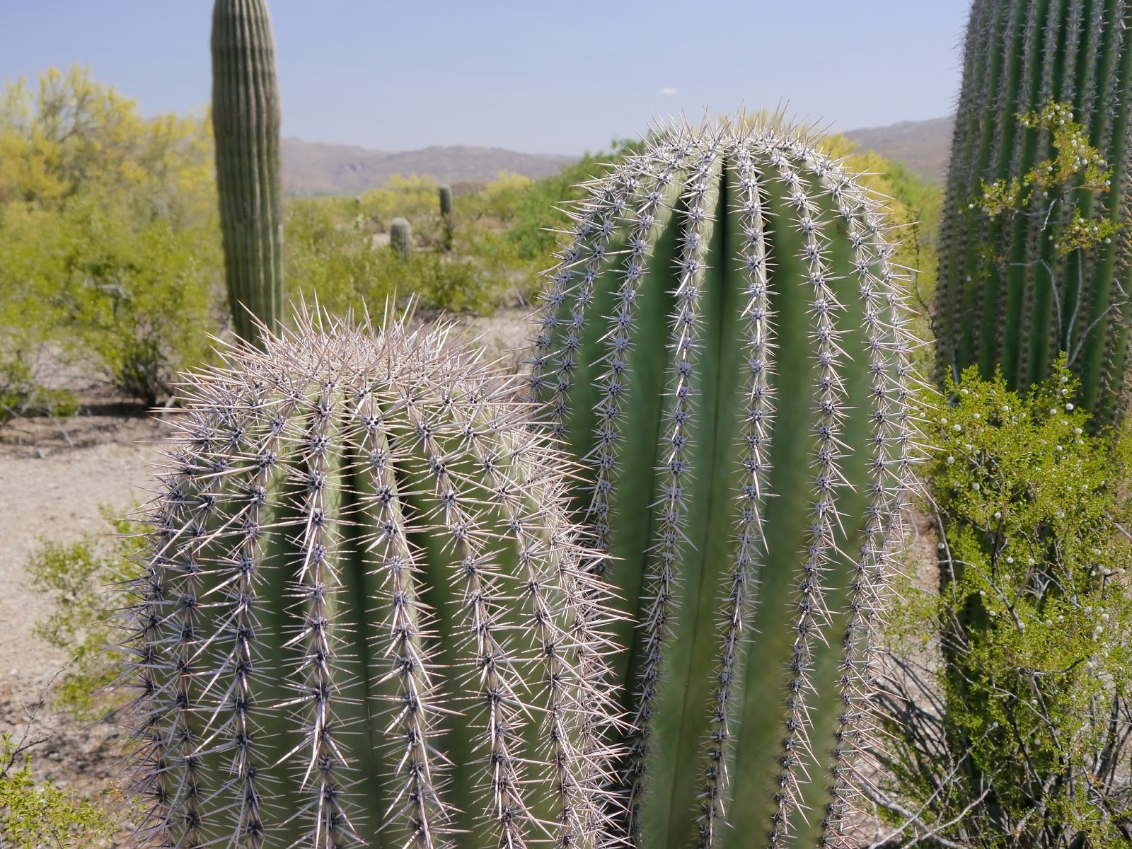 how to grow a saguaro cactus