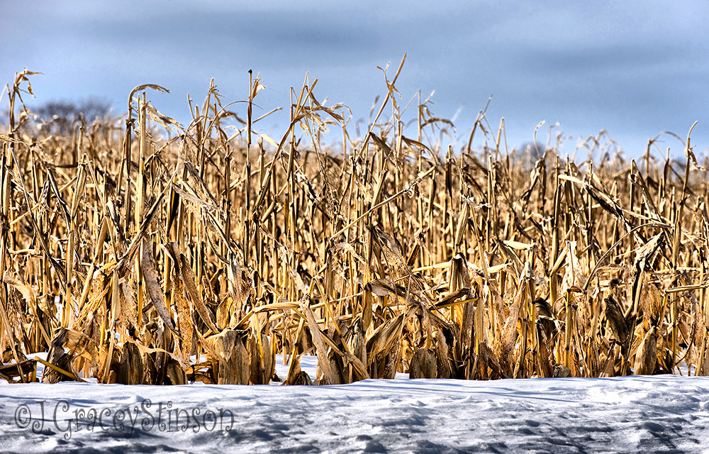 A farm corn field blanketed by snow, with dried cornstalks standing tall again an overcast sky.