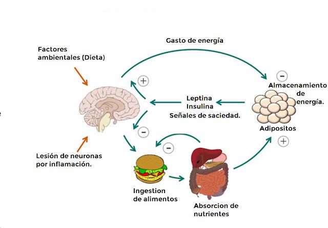 leptina-insulina