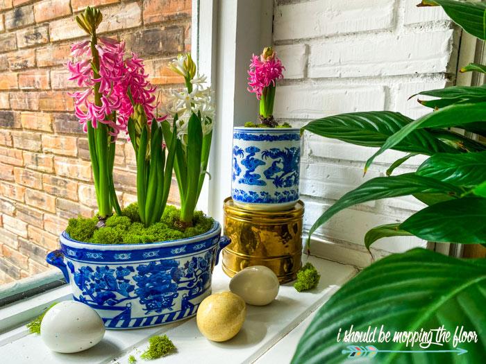 Potted Hyacinth Bulbs