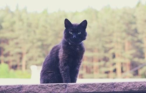 القط الامريكي الاسود بومباي