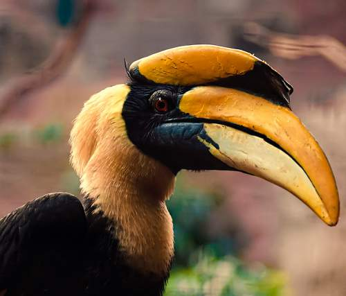 Birds of India - Photo of Great hornbill - Buceros bicornis