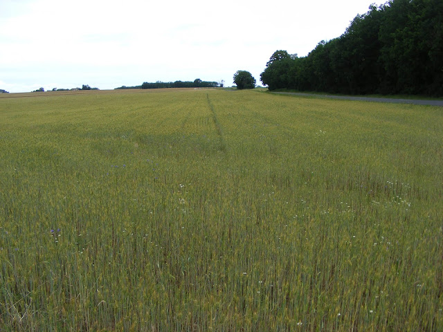Organic wheat field, Indre et Loire, France. Photo by Loire Valley Time Travel.