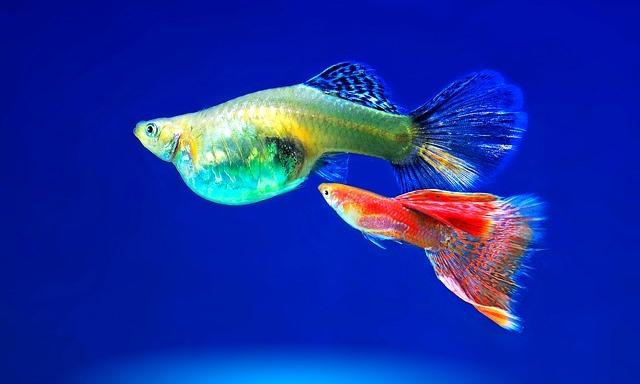 Cara Menjalankan Peluang Usaha Ikan Hias Dengan Baik dan Menguntungkan
